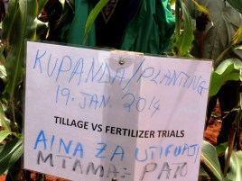 Trials on application of fertilizer on sorghum