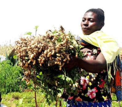A farmer displaying the roots to show the yield obtained from the improved varieties under trial to assist farmers select their preferred varieties
