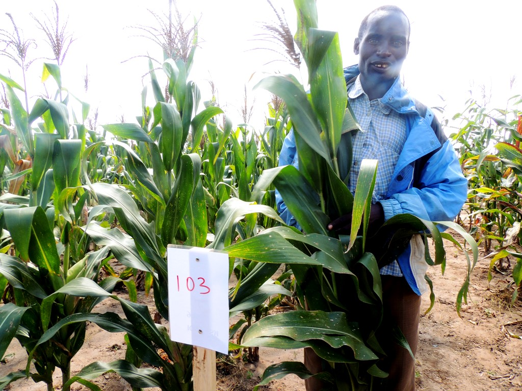 A farmer is with one of the new improved maize varieties on trial.
