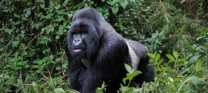 2 Days Gorilla Trekking Mgahinga National Park Tours