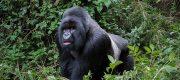 2 Days Gorilla Trekking Mgahinga National Park Tours