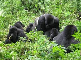 Gorilla Trekking Volcanoes National Park