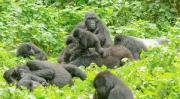 Gorilla Trekking Democratic Republic of Congo