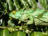 cameleon-chameleon