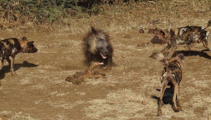 Water Buffalo Vs Buffalo