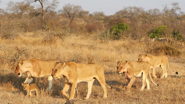 lions-safari