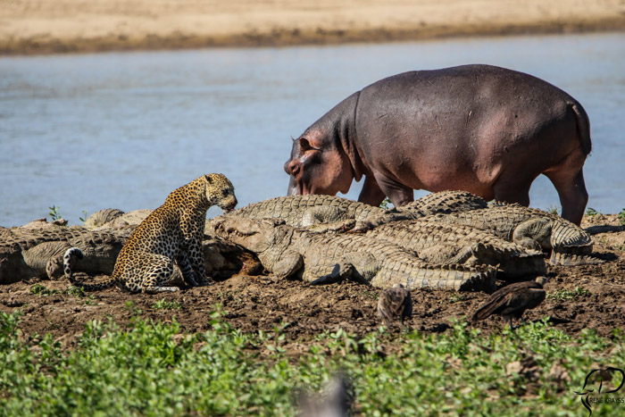 A hippo joins the feast  Africa Geographic