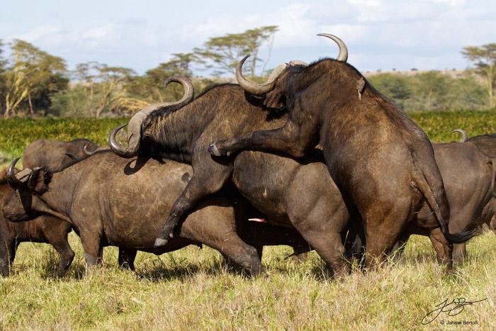 A buffalo threesome  Africa Geographic