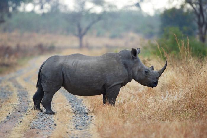 Will synthetic rhino horn save or destroy wild rhino