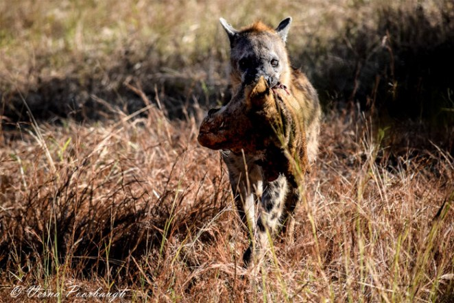 spotted-hyena-lion-head