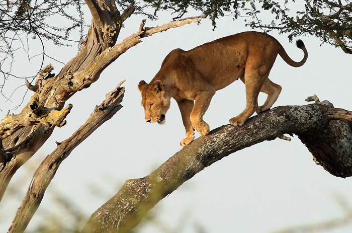 lion-in-tree