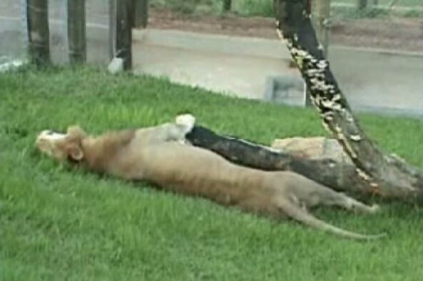 Lion-kept-caged-in-circus-for-13-YEARS-feels-grass-and-dirt-for-the-first-time