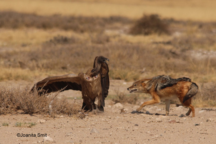 Jackal vulture wrestling match in the Kgalagadi  Africa