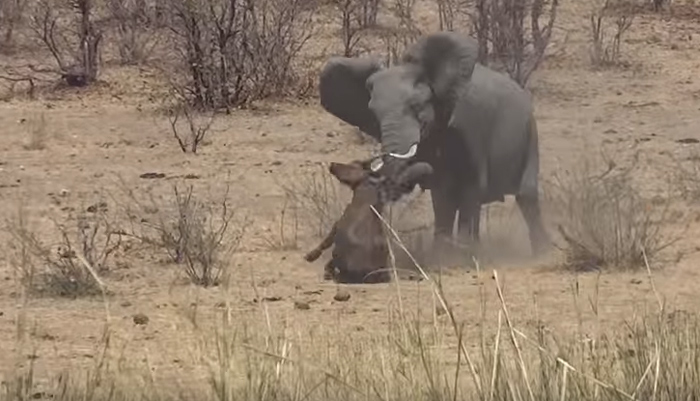 Video elephant stabs and kills buffalo  Africa Geographic