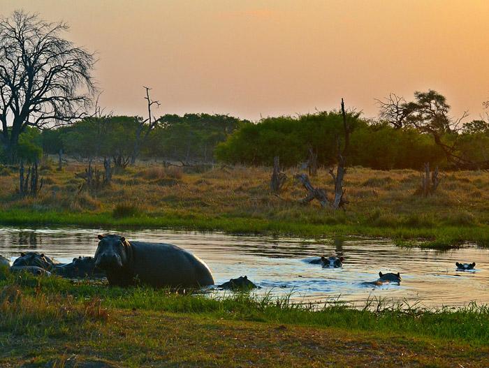 hippos-botswana