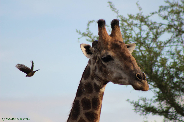 7 funky facts about giraffes  Africa Geographic