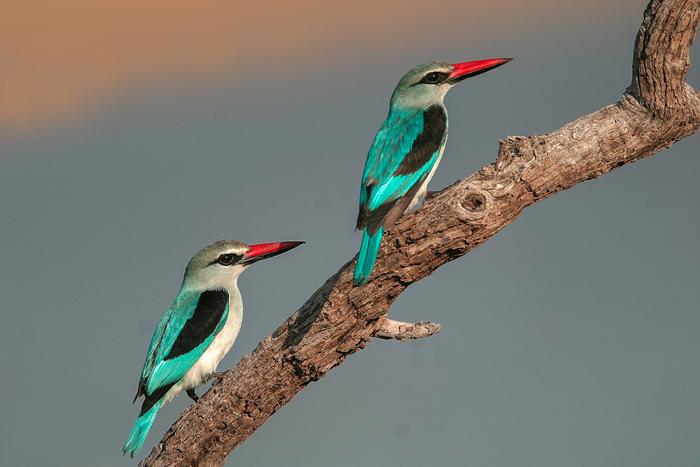 South Luangwa says goodbye to the woodland kingfisher