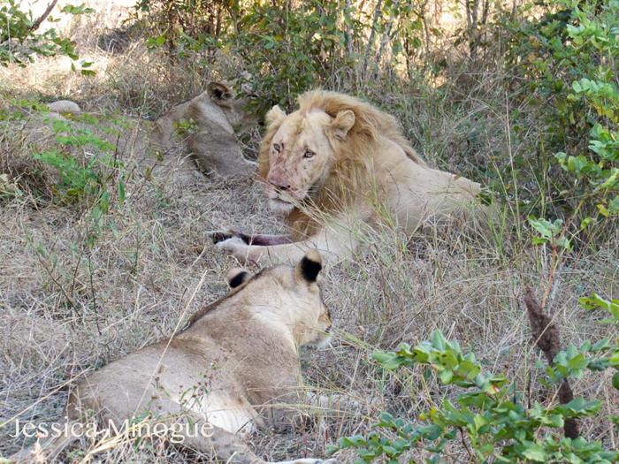 Lion eats lion  Africa Geographic