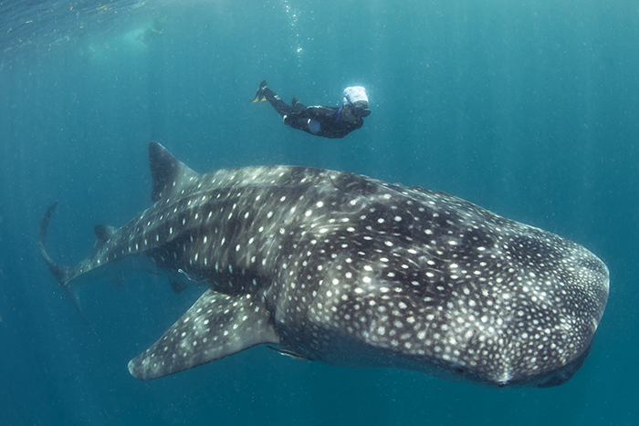 Swimming with whale sharks along Tanzanias Mafia Island
