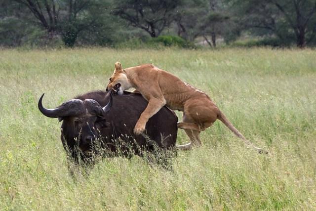 Serengeti, lion hunting