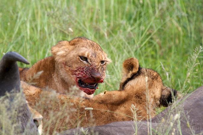 Serengeti, lion eating