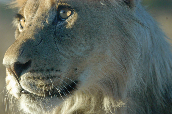 Close up of a young male lion in theKgalagadi Transfrontier Park
