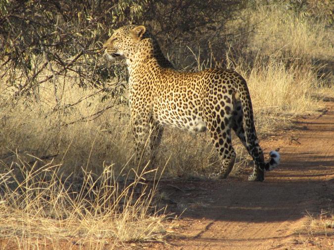 leopard kills child in