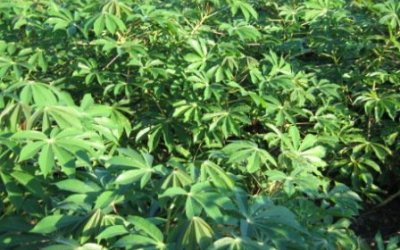 Cassava leaf sauce (Kwem, Cameroon; Pondu, DR Congo)