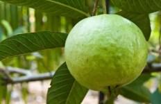 Guava on tree