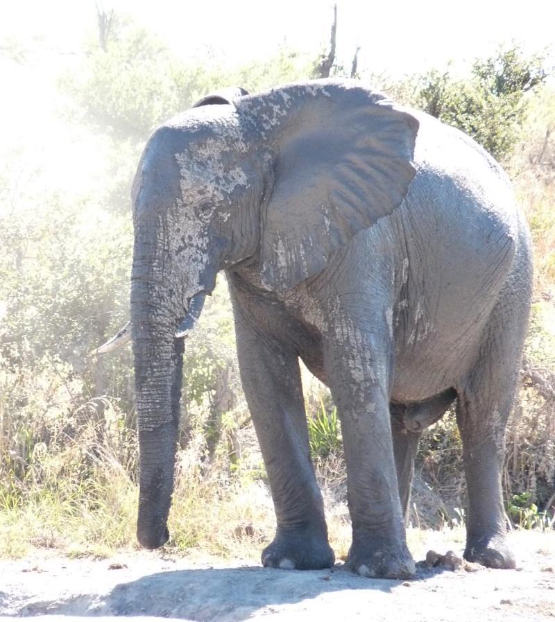 Botswana elephant small tusks