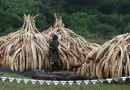 4 Pics: Blacks kill 30,000 Elephants in Africa annually: Botswana 100 elephants killed for ivory recently