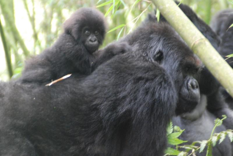 9-gorillas