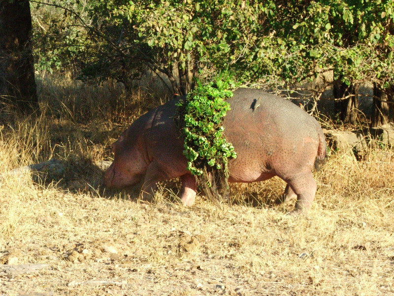 Hippo in a Dress