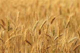 La récolte céréalière de la saison actuelle (2014-2015) devrait atteindre 14 millions de quintaux contre 23
