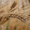 Les importations tunisiennes de céréales devraient baisser de 1