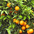 La saison d'exportation des agrumes démarrera