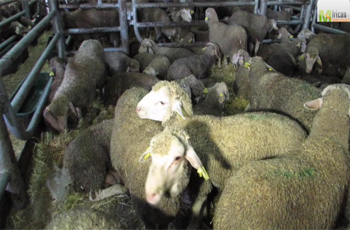 6 mille moutons ont été déchargés aujourd'hui dimanche au port de Radès en provenance d'Espagne