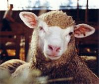 Environ 60% des Tunisiens n'ont pas acheté le mouton du sacrifice