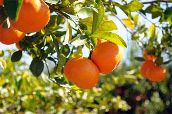 (Agence Ecofin) - La Tunisie a déjà récolté 440 000 tonnes d'agrumes pour la campagne en cours