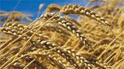 La récolte des céréales pour la saison 2014 devrait enregistrer une