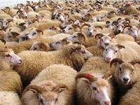 Les moutons importés de Roumanie ne sont atteints de nulle maladie