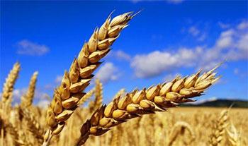 Selon les prévissions du ministère de l'Agriculture