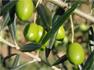 La production nationale tunisienne d'olives pour la saison 2012-2013 se situera entre 1. 080 et 1.190 millions de tonnes