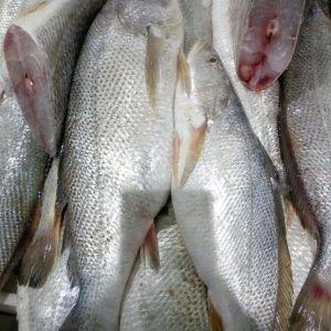 Cleaned & deguted Fresh Croaker Fish 1kg (readytocook)