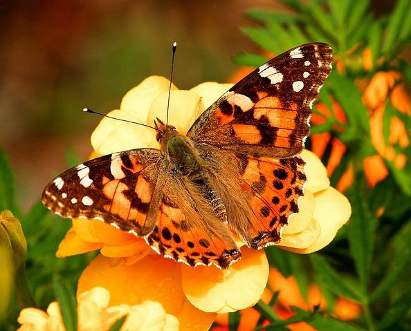 A beautiful butterfly endures pains going through a metamorphosis