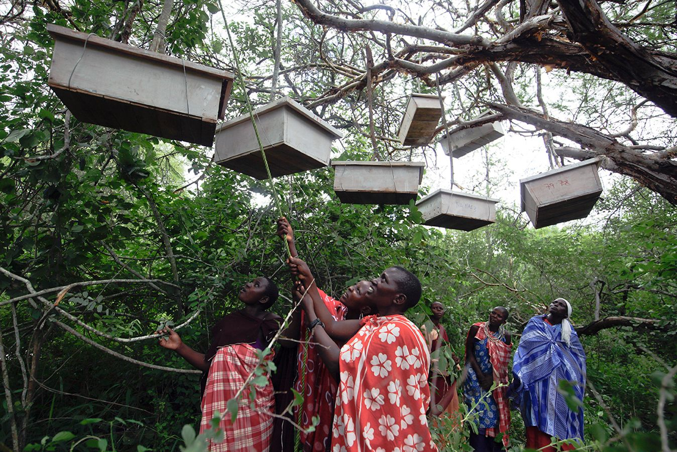 Members of African People & Wildlife's Women's Beekeeping Initiative hang hives in the bush