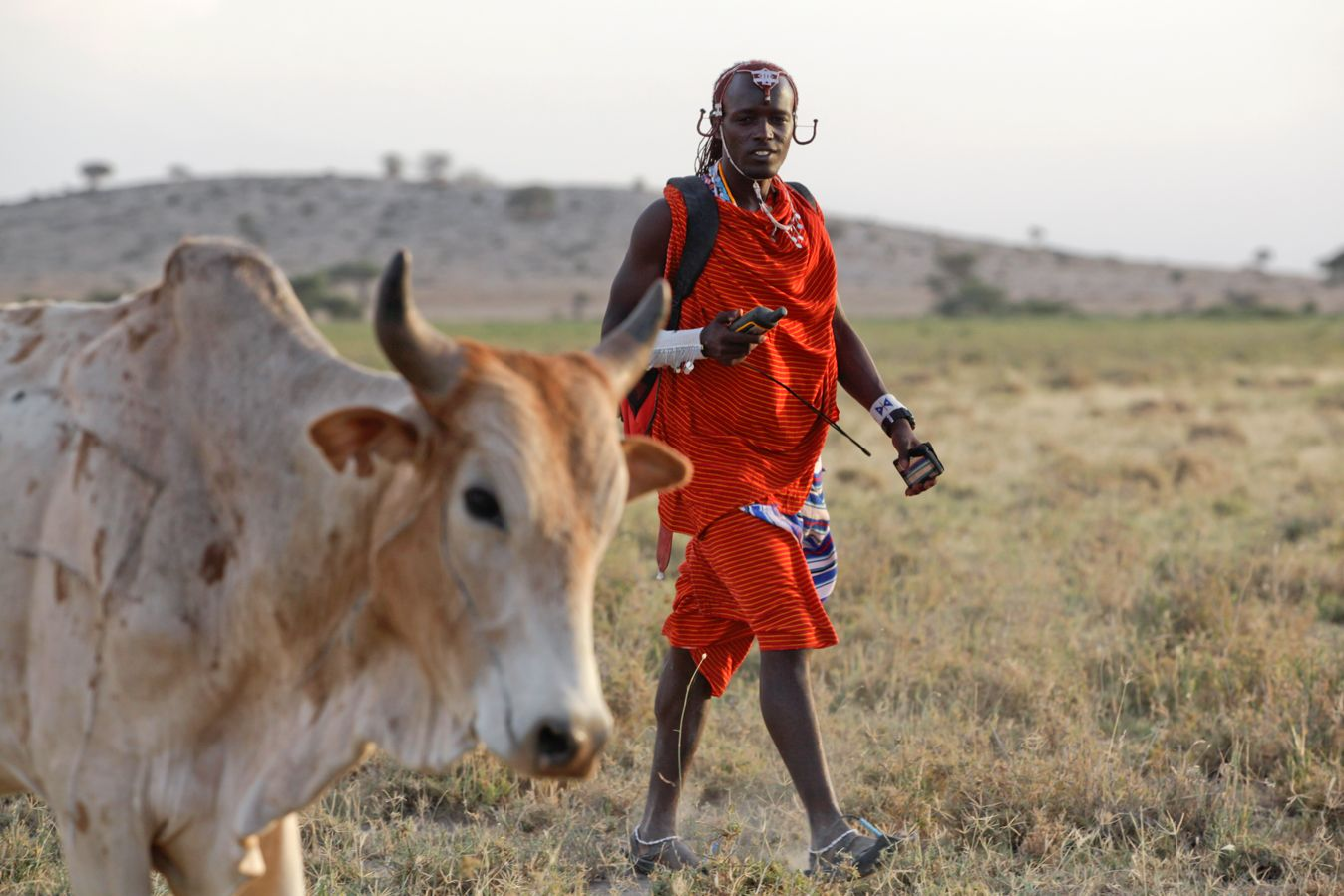 A Warriors for Wildlife team member retrieves a cow that was lost at pasture.