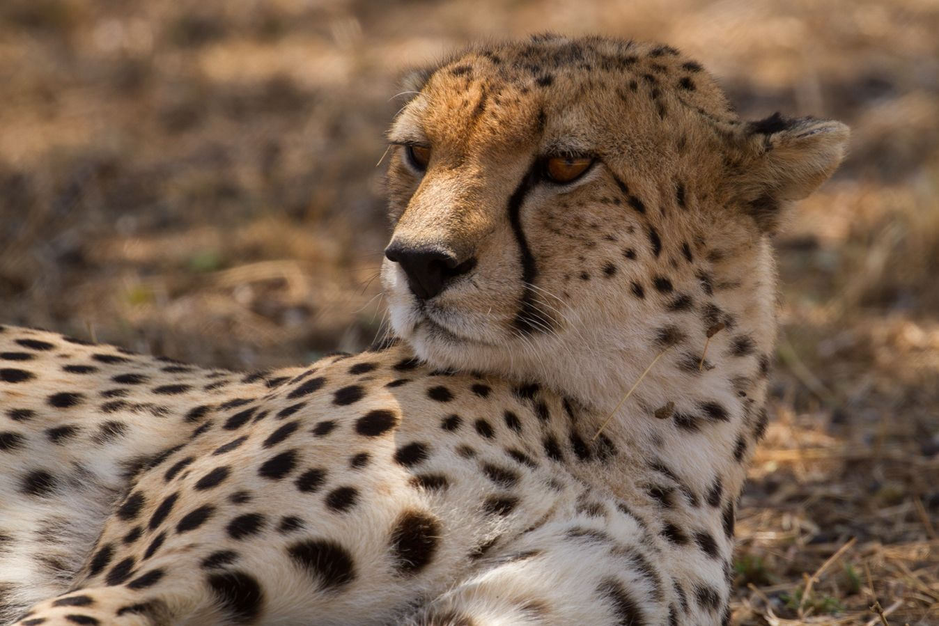 APW's human-wildlife conflict prevention work protects lions, cheetahs, and leopards in northern Tanzania.