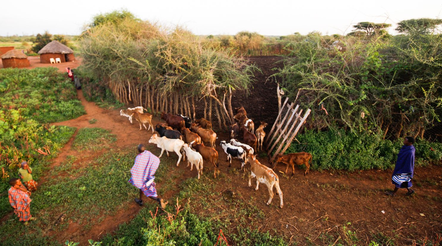One of APW's Living Walls protects livestock from predators in northern Tanzania.