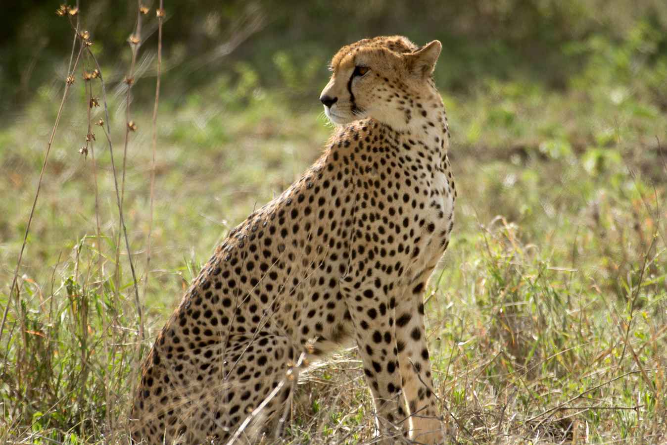 An adult cheetah under the protection of the Northern Tanzania Big Cats Conservation Initiative